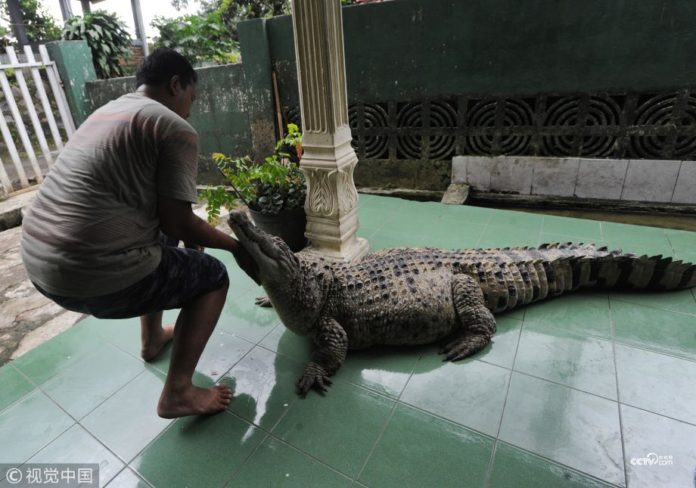 crocodile pet, Indonesia news, bizarre story, viral stories